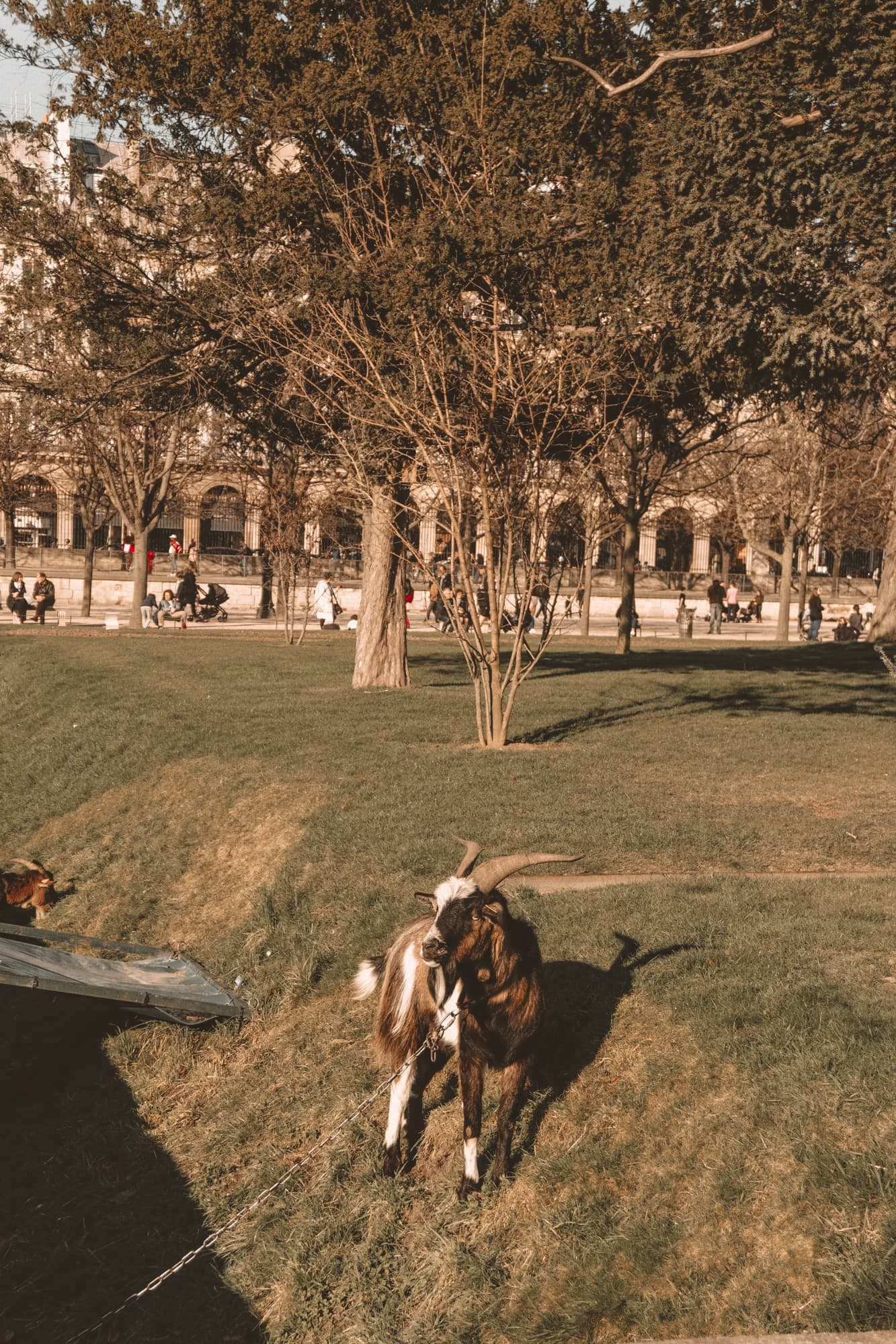 pet goat at Tuileries gardens, Paris