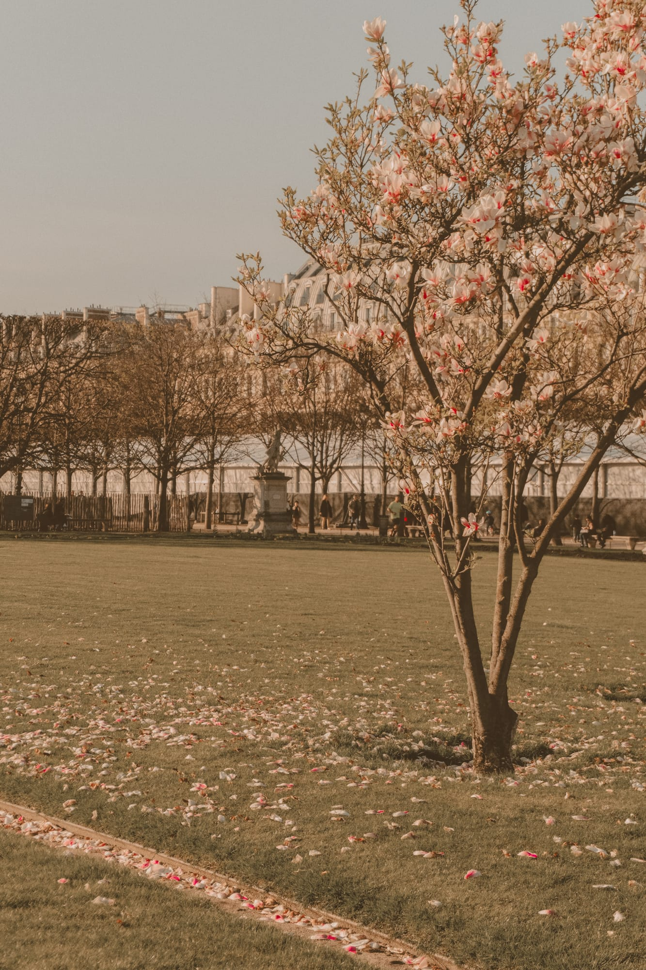 spring magnolia blossoms in Paris